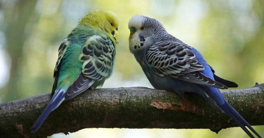 Muhabbet Kuşu Cinsiyeti Nasıl Anlaşılır