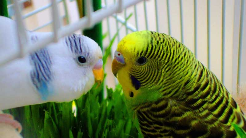 Muhabbet Kuşu Kaç Günde Yumurtlar