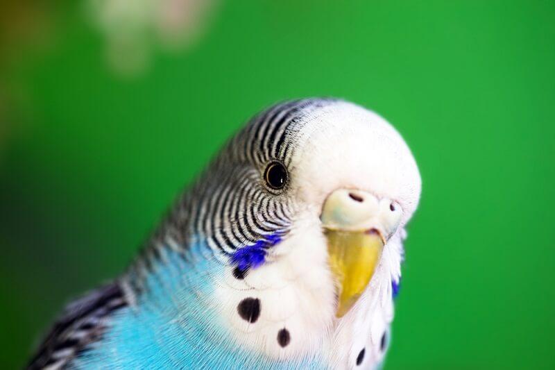 Muhabbet Kuşu Mantar Tedavisi