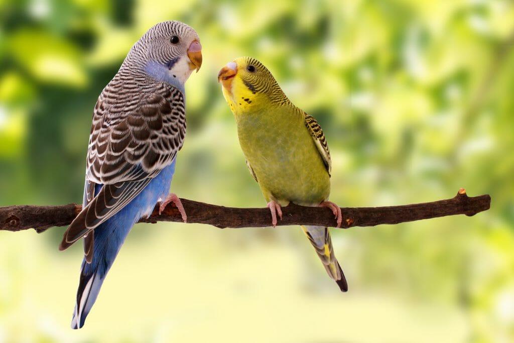 Muhabbet Kuşu Tüy Dökme Dönemi