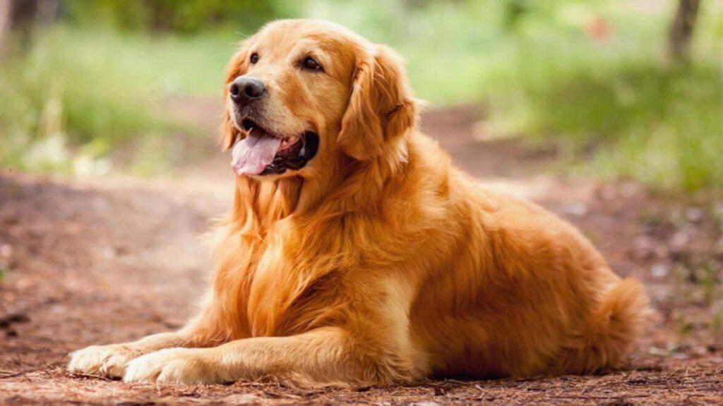 Golden Köpek Cinsi