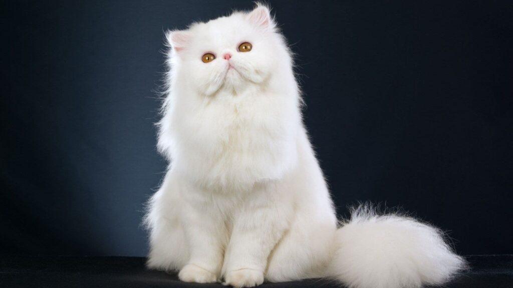 Persian Kedi