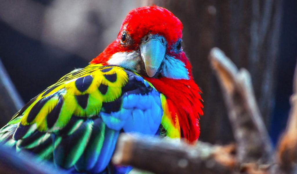 Kırmızı Macaw Papağanı