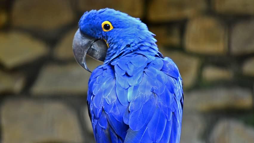 Sümbül Amerikan Papağanı