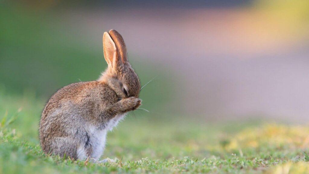 Tavşanların ölüm belirtileri