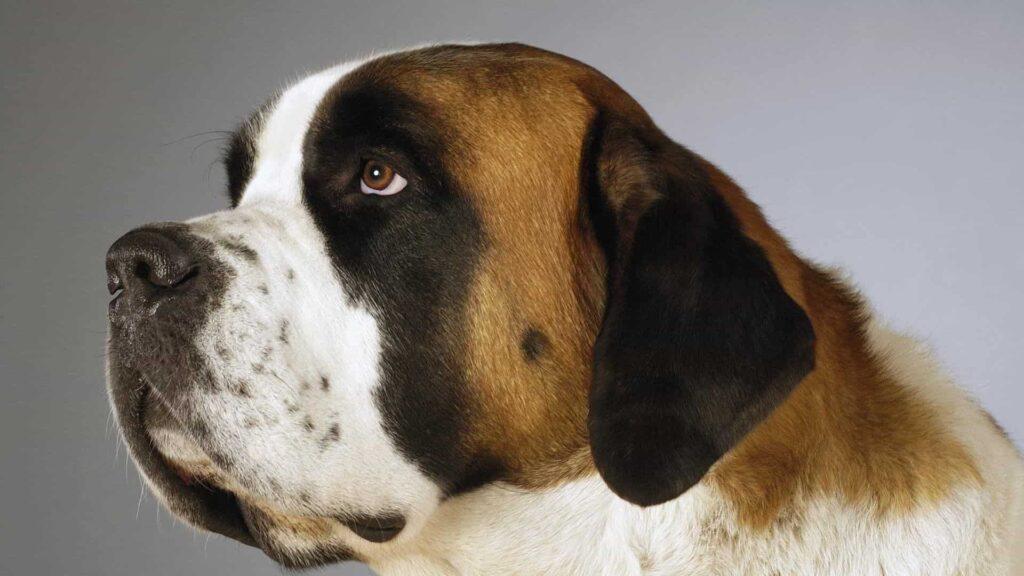 Saint Bernard köpek