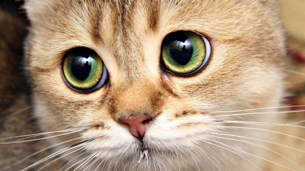 Kedilerde göz enfeksiyonu