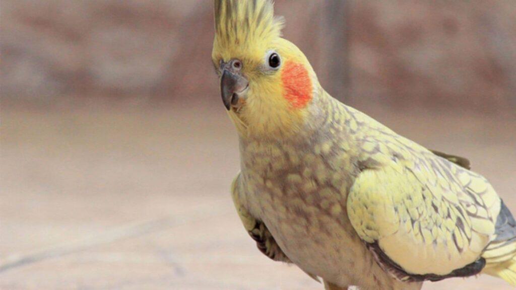 Sultan Kuşu