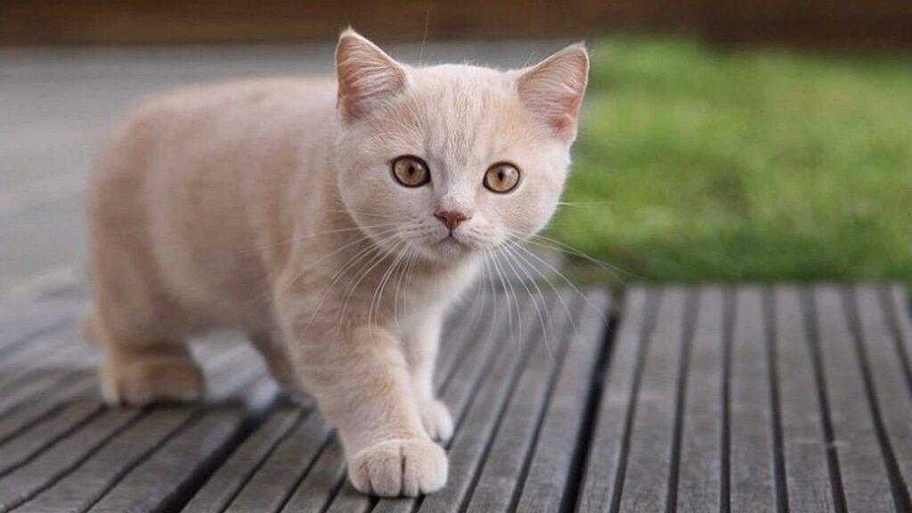 Kediler neden miyavlar