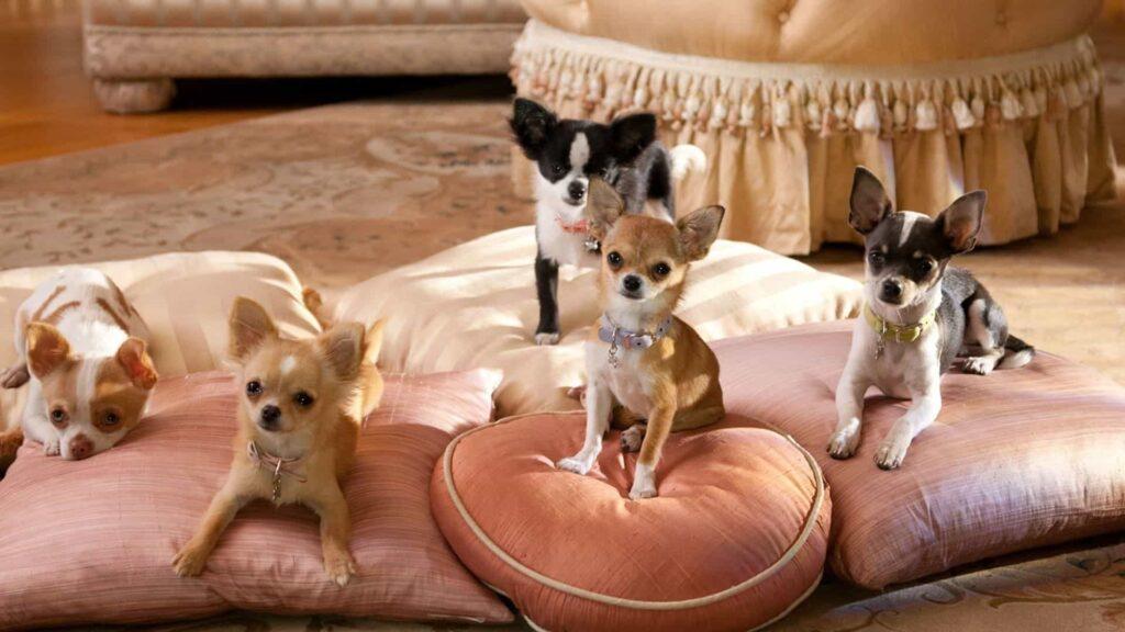 Şivava köpek