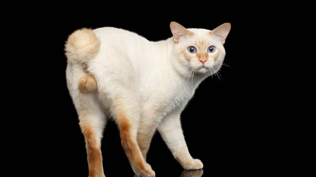 Erkek kedinin memesi olur mu