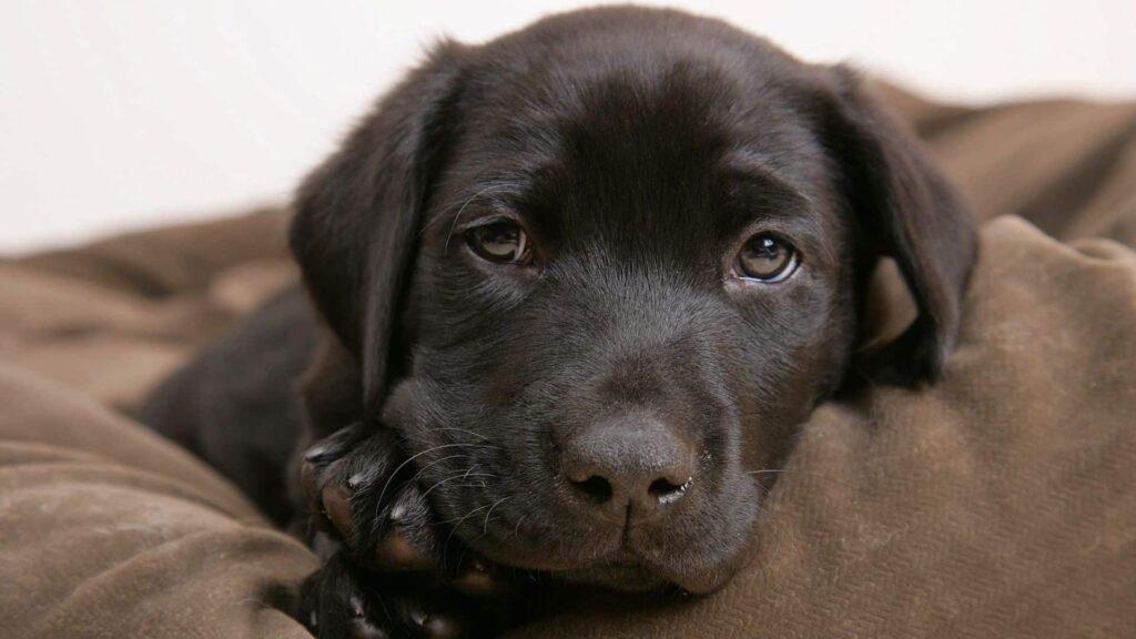 Labrador köpek cinsi