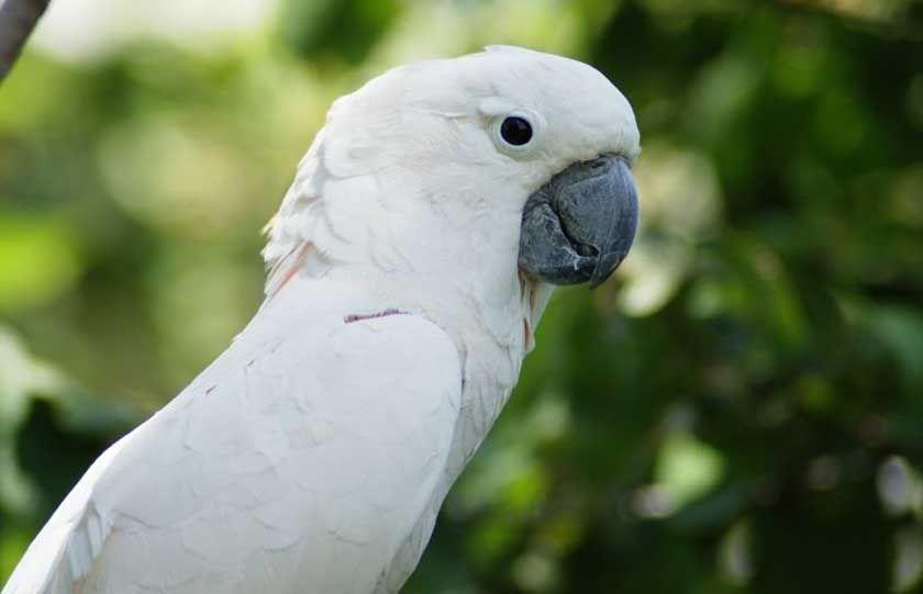 Sultan Papağanı Albino