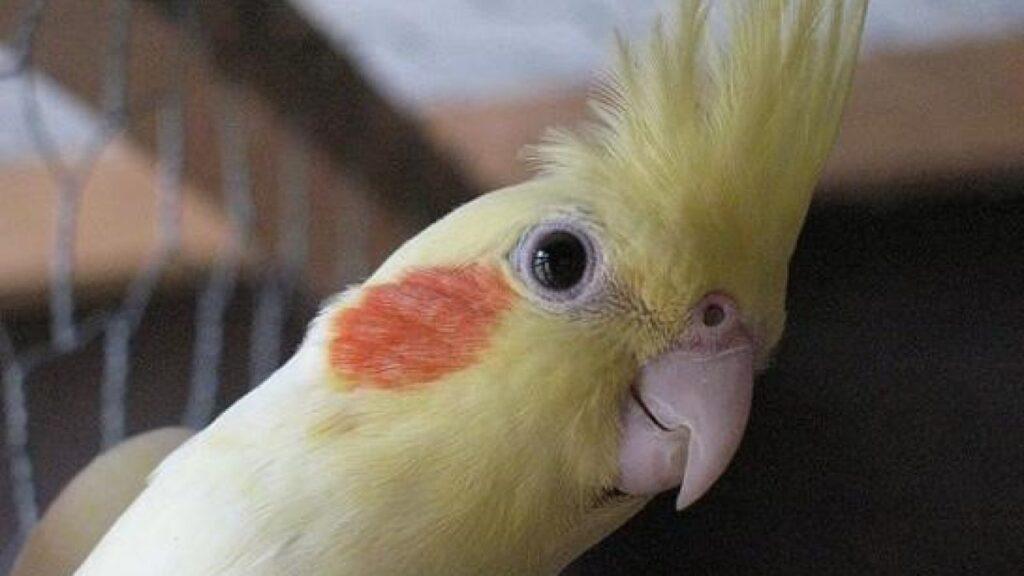 sultan papağanı özellikleri