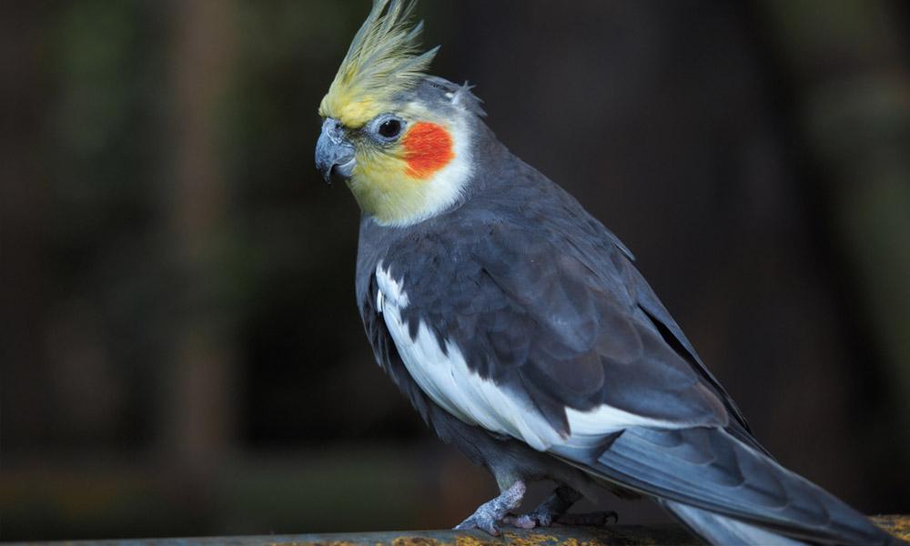 sultan papağanı yaşam süresi