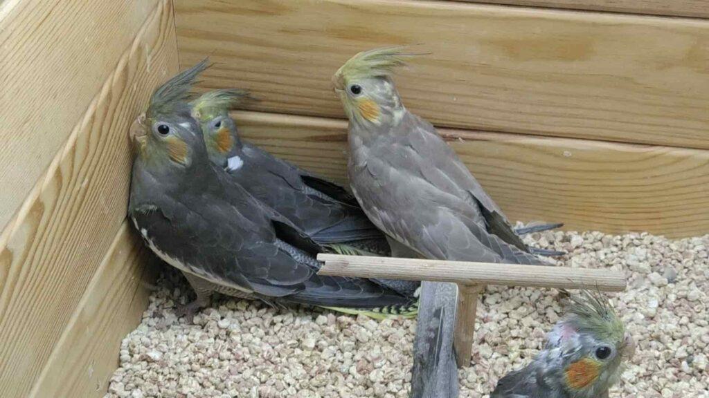 Sultan papağanı ömrü