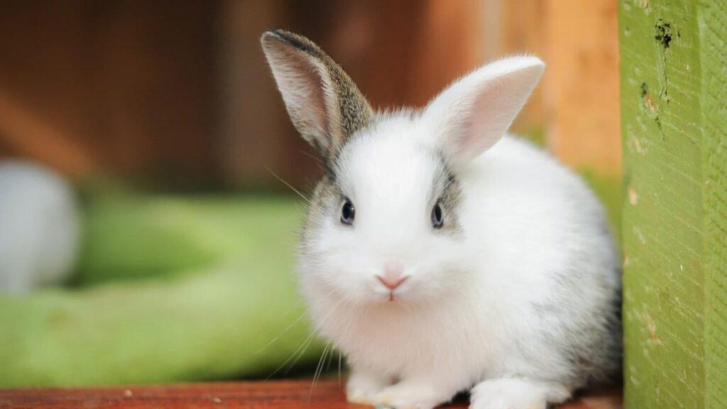 tavşan ile ilgili bilgiler