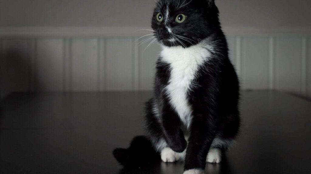 siyah kedi cinsleri
