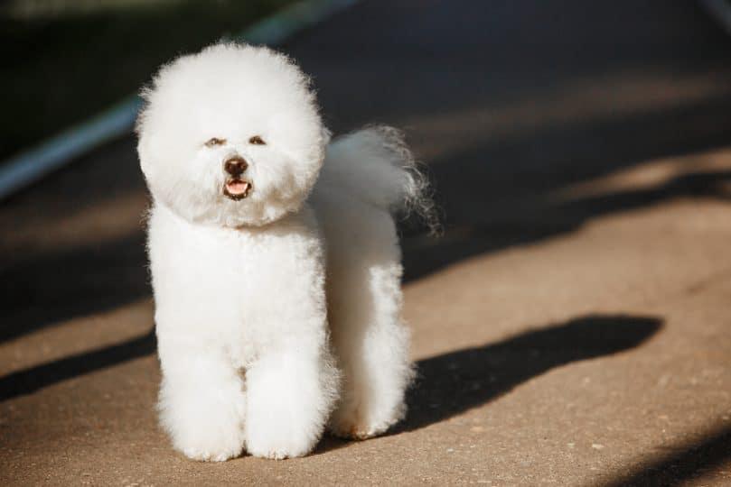 tüy dökmeyen köpek