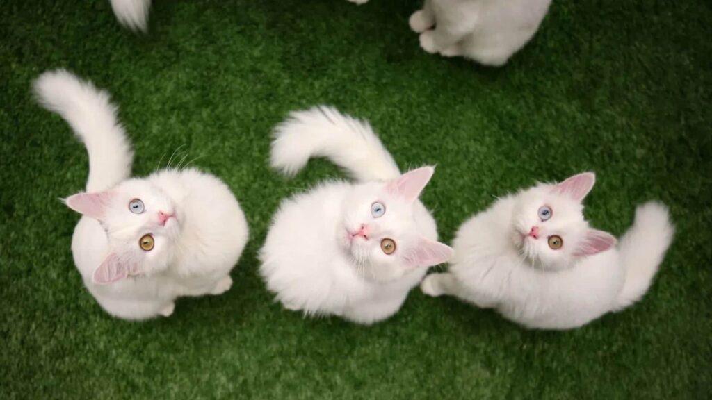Van Kedisi Yavruları