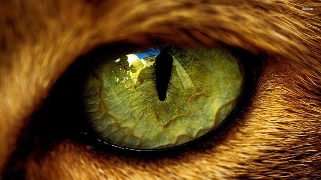 kedilerde göz şişmesi