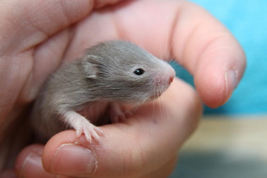 Yavru Hamster Bakımı