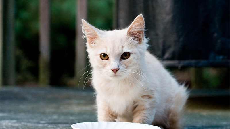 Yavru Kedi Süt İçer Mi