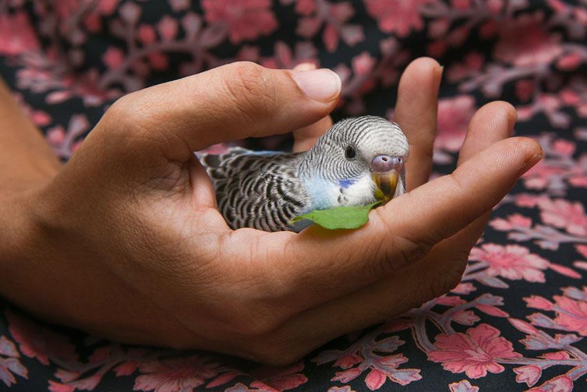 Yavru Muhabbet Kuşu Cinsiyet Ayrımı