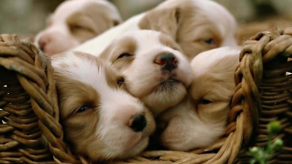 Köpekler kaç ayda doğurur