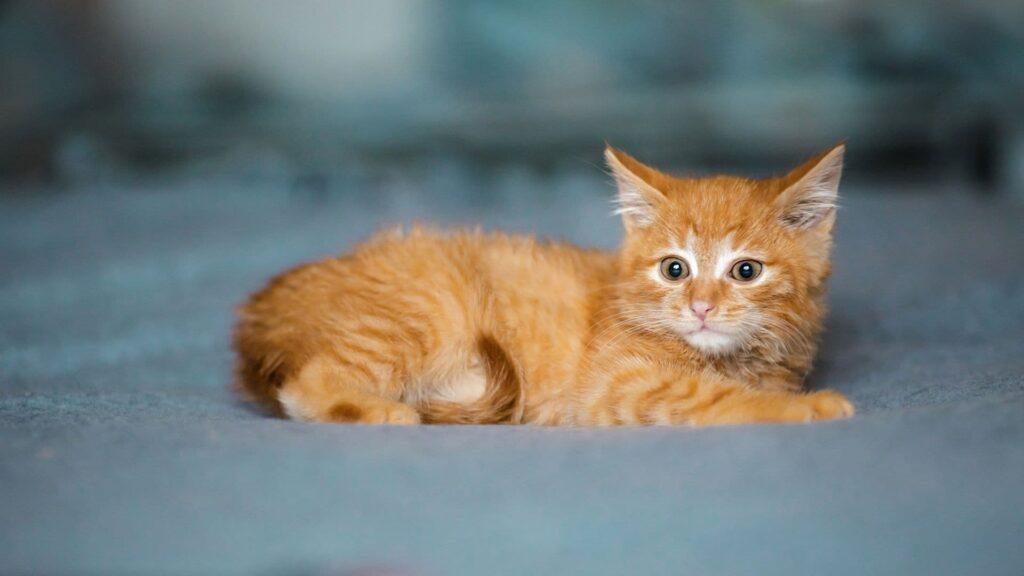 Tekir kedi özellikleri