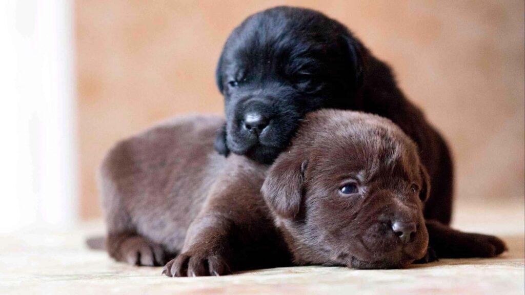 Labrador özellikleri