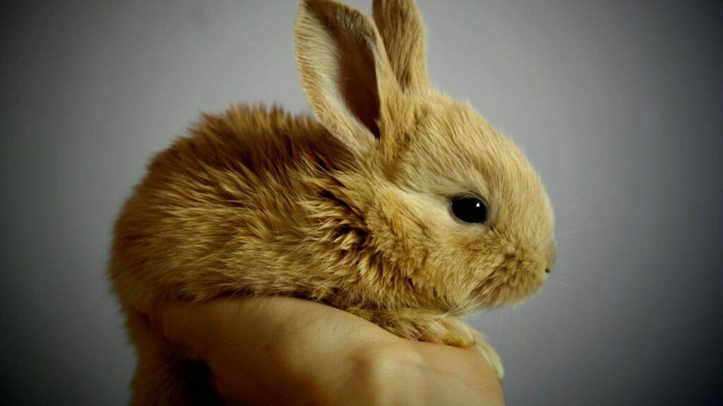 tavşanın özellikleri