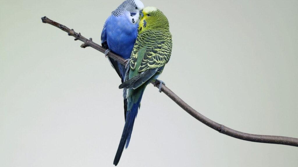 Muhabbet kuşu neden tüy döker